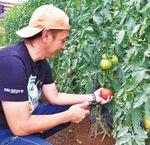 トマトを収穫する林さん