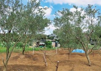 いぶき野に植樹されているオリーブの木