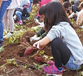 サツマイモを収穫する鴨居小児童