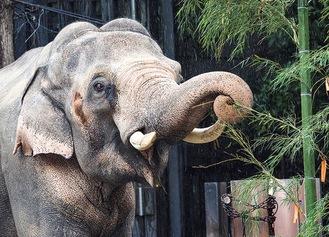 贈られた竹を食べるインドゾウ(よこはま動物園ズーラシア提供/一昨年撮影)