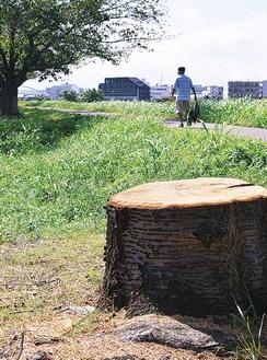 伐採された桜の木