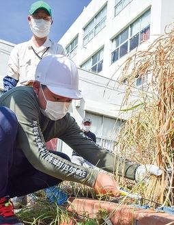 鎌で稲を刈る児童