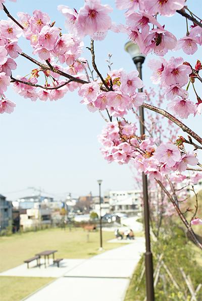ほころぶ桜の花びら