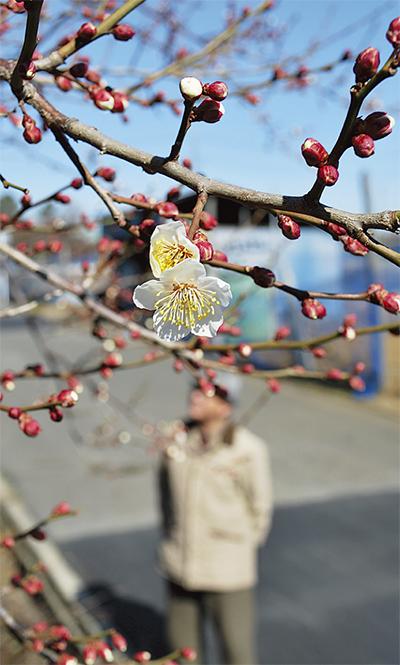 梅の花咲き始める