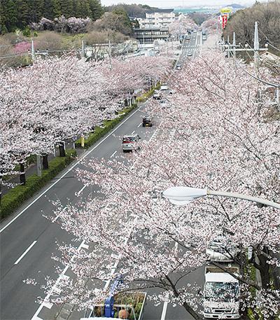 桜が区内を彩る