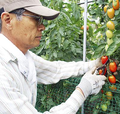 夏野菜が収穫最盛