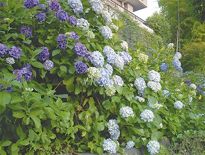 紫陽花まつり盛況