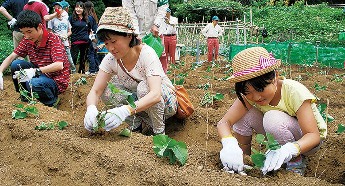 サツマイモの苗植える