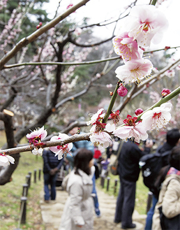 紅白に彩られた梅の花に、来場者も見入っていた