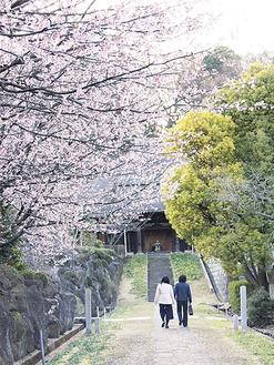 満開の桜並木が見られる、新羽・西方寺