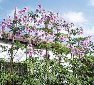 美しい花をつける皇帝ダリア(写真は昨年)