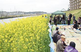 鶴見川に沿って菜の花が咲き誇る