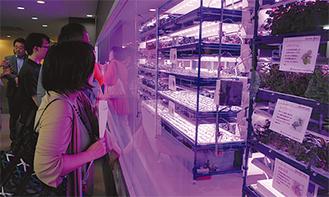 LEDに照らされた棚で育つ野菜
