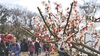 春を告げる観梅会