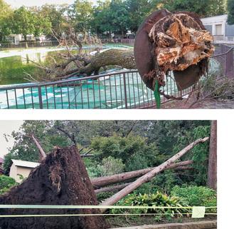 区内の倒木被害。上:菊名池周辺/下:小机幼稚園