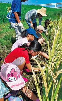 今年は、天気に恵まれた稲刈り