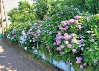 きれいに咲き並んだアジサイ(6月17日撮影)