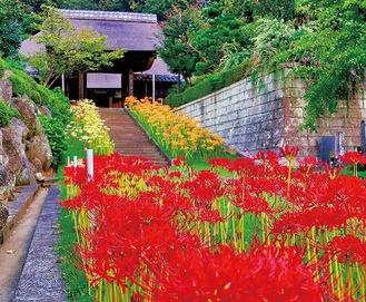 三色の彼岸花が競演する西方寺の参道(提供写真)