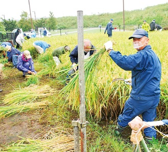 小雨の降る中、手際よく、稲を刈り、束ねていく