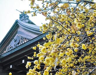 ▶1月中旬過ぎには、例年見頃になる蝋梅