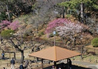 公園内の場所によっては梅が満開の木も