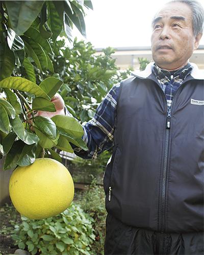 「晩白柚(ばんぺいゆ)」が豊作