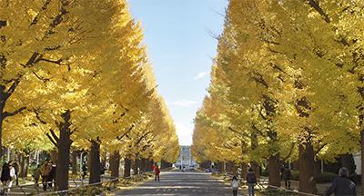 黄金色のイチョウ並木
