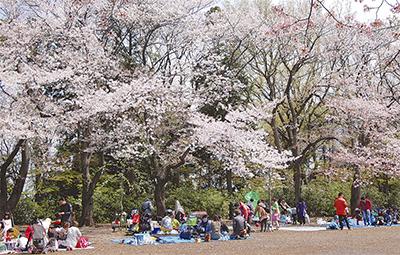 桜の下で春を味わう