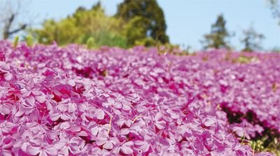 新羽の丘にピンクの絨毯