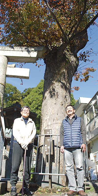 樹齢300年の古木救う