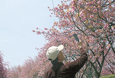 八重桜にうっとり