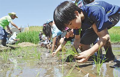 泥んこになり田植え