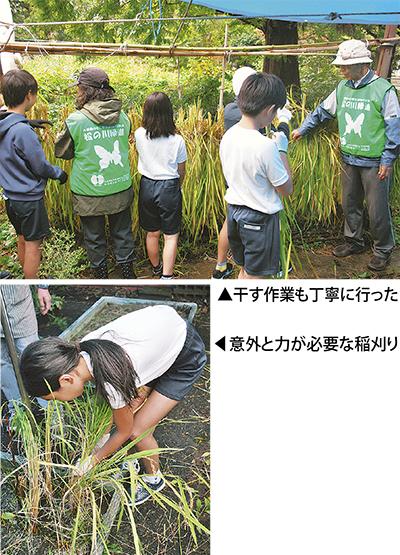 下田小で稲刈り