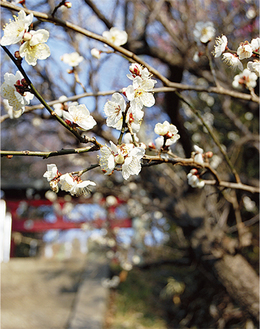 既に咲き始めた梅(2月5日撮影)