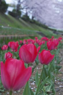 チューリップロードになっている江川せせらぎ緑道(4月9日撮影)