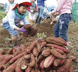 園児たちは山ほどの芋を収穫
