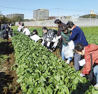 小松菜など都筑野菜を収穫