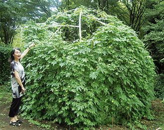 作品を覆うほどに成長したゴーヤドーム 8月4日撮影