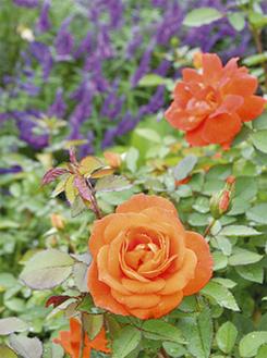 約560種の秋バラが咲き誇る園内