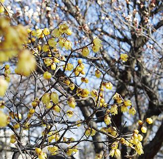 咲き始めたばかりの白梅と華麗な競演(1月31日)