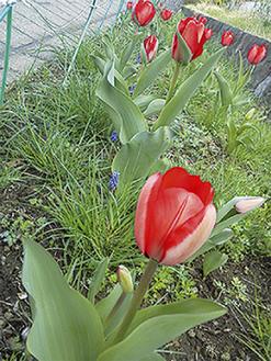 大きく咲いたチューリップ