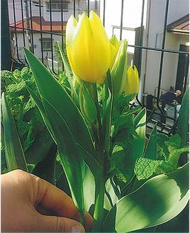 1株から最高4輪の花を咲かせたチューリップ