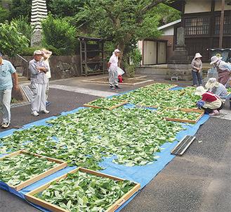 境内で茶葉を乾燥させる甘茶の会メンバー