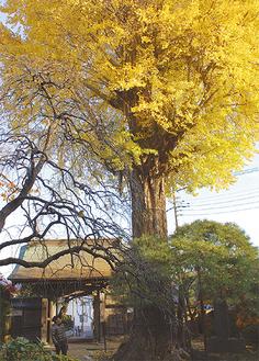 樹高約35mの紅葉したイチョウを見上げる=9日撮影