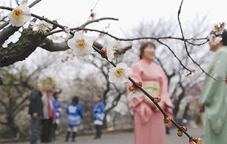 曇天でも栄える梅の花