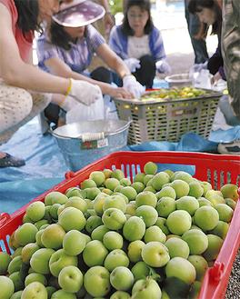 収穫した梅の実を袋詰めする町内会員ら