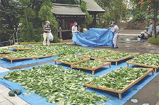 自家栽培している甘茶を干す作業=7月撮影