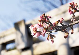 枝先から順に花をつけた桜(19日撮影)