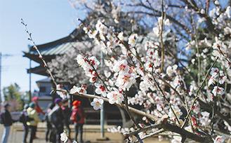 約200本の梅が花を咲かせる(7日撮影)