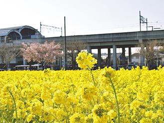 一本だけ咲いた桜との共演が美しい菜の花(2月28日撮影)
